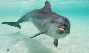 lumba lumba bukan ikan karena ______________________________ -bernapas dengan paru paru -menyusui -melahirkan -termasuk mamalia