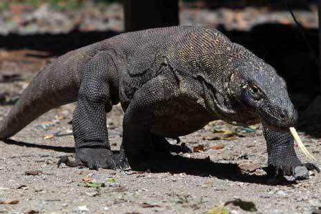 komodo di indonesia hampir punah o bantu wow jika perduli dengan binatang ini
