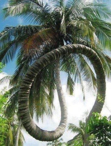 pohon kelapa aneh... di sengigi...!