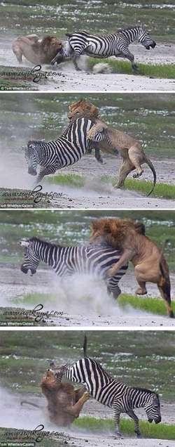 Inilah Foto Foto Zebra TKO Seekor Singa Jantan Dewasa Hingga Tersungkur !
