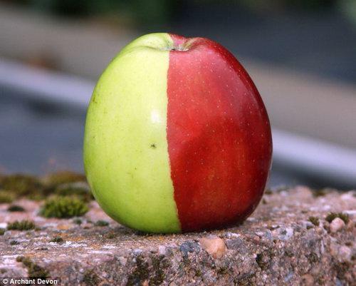 Apel terunik,, memiliki dua warna hijau dan merah,,, WOOWW,, O.o