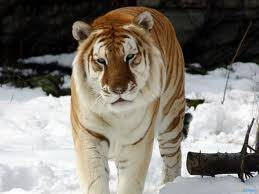 golden tiger yang jarang di temukan bsa di temukan di kutub utara