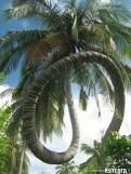 Sungguh Aneh... Pohon Kelapa Unik... WoW Yaah