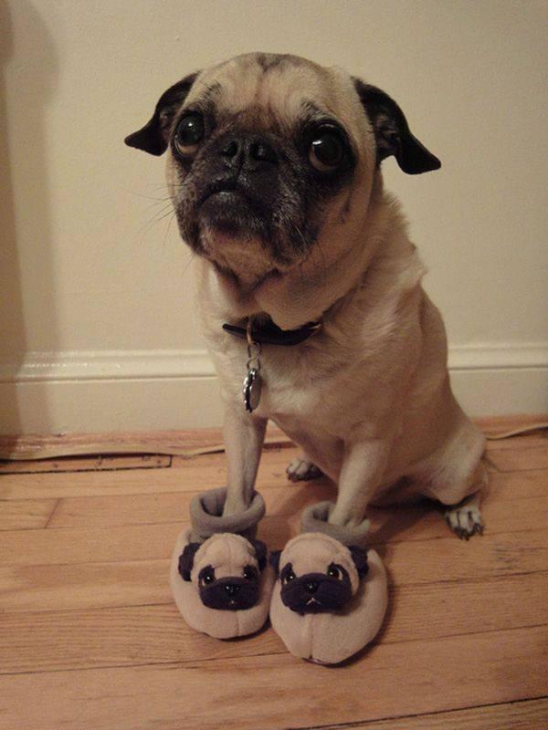Anak anjing pug dengan sendal anjing pug