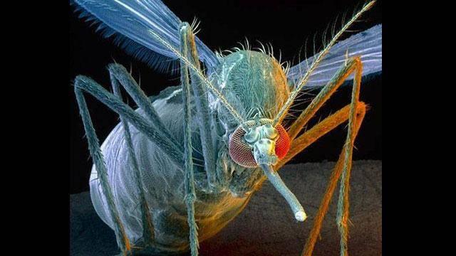 Nyamuk betina ini adalh nyamuk paling mematikan di Dunia, nyamuk betina membawa virus Malaria , setiap tahunya nyamuk ini membunuh lebih dari 1 juta orng , hingga skrng penelitian USA blum mengetahui jenis nyamuk ini,