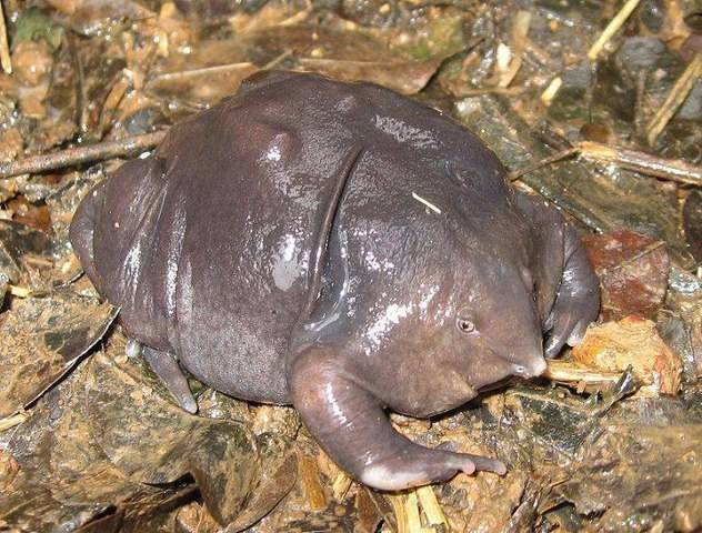 *SEJARAH KEMAS KINI MDKA* Nasikabatrachus sahyadrensis adalah spesies katak dalam keluarga Sooglossidae. Ia telah didapati berada di sekitar wilayah Barat Ghats di India. Nama lain untuk spesies katak ini adalah Katak Ungu dan telah ditemui o