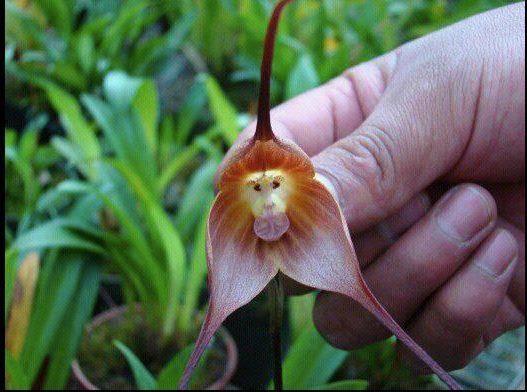 *SEJARAH KEMAS KINI MDKA* Bunga Orkid Monyet atau nama saintifiknya adalah Dracula Simia boleh dijumpai di Ecuador dan Peru.