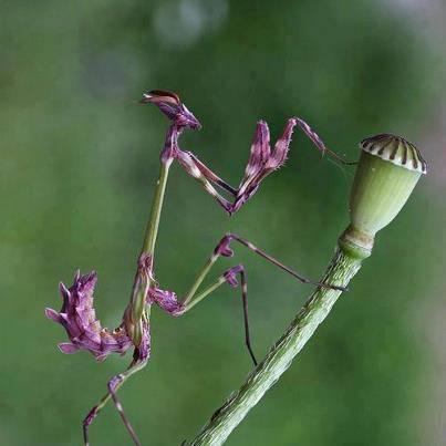 Purple Praying Mantis aka Mentadak Ungu.... cantik nyer.. subhanallah...first time admin tgk kaler pepel nih..... biase tgk kaler ijo jek... ~SA~