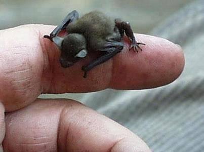 Bumblebee Bat! Mamalia terkecil di planet ini: Bumblebee Bat!