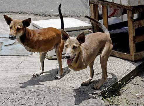 Foto ini jangan-jangan ulah Photoshoper yang iseng dan tega mengcrop kaki depan anjing malang ini. Faktanya anjing-anjing ini memang asli hidup di Filipina, dan memang terlahir cacat seperti itu.