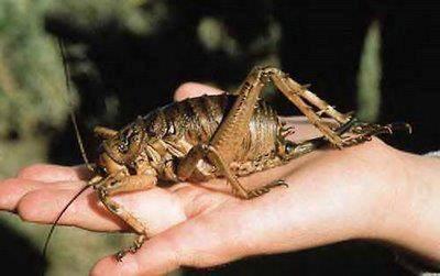 Serangga terberat di Dunia, Giant Weta (gangsir) 459kg, ditemukan di hutan California