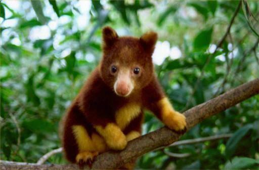 Kangguru Pohon Mantel Emas, Hewan paling terlanggka di Dunia, hewan ini terancam akan punah, di perkirakan sampai saat ini hanya ada 50 ekor Kanguru.