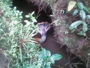 Ini adalah Ular berkepala 7 Yang berada di dekat sungai kecil di suatu desa, dan seorang pelajar yang sempat melihat kemudian langsung memfoto dan setelah itu seekor Ular tersebut hilang
