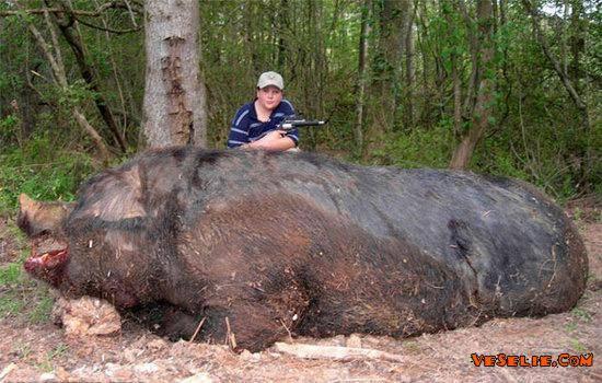 Jika menurut anda babi ini besar,,, Klik WOW..... O.o