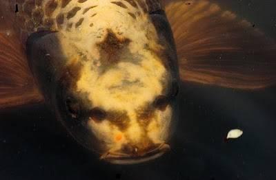 Ikan ini memang benar2 aneh pasalnya wajah ikan koi asal Korea Utara ini begitu mirip dengan manusia. Semakin tambah umurnya semakin mirip wajah seperti...