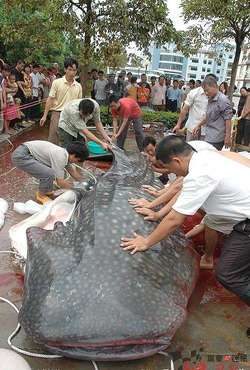 Ikan Lele Terbesar di Dunia