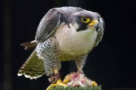 banyak yang mengira jika chetah adalah binatang tercepat.kecepatan chetah ini mencapai 70 mil/jam (114km/jam).namun tahukah kamu bahwa hewan tercepatdi dunia adalah the peregine falcon(falco peregrinus)kecepatannya mencapai 390km/jam(242,3mil)