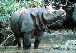 BADAK JAWA. Dari 60 yang diketahui, tempat tinggalnya Cuma ada 2 di jawa ( Indonesia) sama di Vietnam. Nih badak masih sering diburu di Malaysia, Sumatra, India buat diambil culanya.