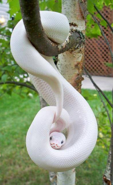Ular Albino , lucu dan indah ya sob