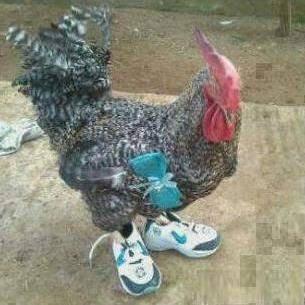 Ayam gaul nih.. Mau berangkat ke kampus ya yam? Jadinya ayam kampus dong.. :|