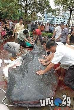 Ikan Lele Terbesar Sumbat Gorong-gorong Di Taiwan