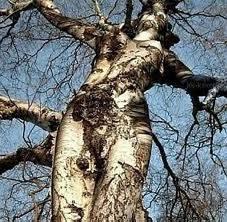 pohon yang berbentuk tubuh secara alami.