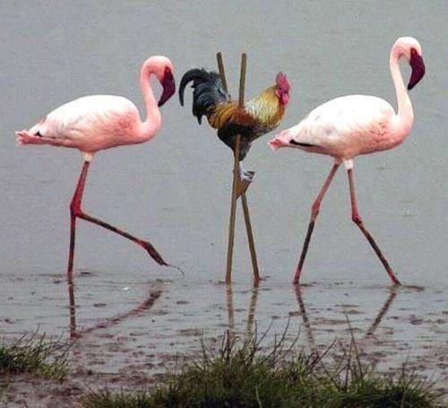 Kasiahan yah ayam itu :( Harus pakai tongkat untuk menyebrangi Banjir, tdak seperti binatang yang lain Yang kasian sama ayam klik WOW