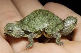 WOW!!! Kura-kura berkepala 2, nampak banget nggak sih menurut pulsker photoshopnya??? WOW nyaaa yahhh~