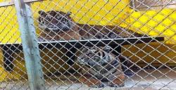 Pasangan Harimau Sumatera Kawin di Washington