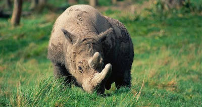 Badak Sumatera ( Dicerorhinus sumatrensis ) merupakan spesies badak terkecil. Biasa ditemukan di hutan hujan atau rawa di India dan Asia Tenggara. Saat ini jumlahnya diperkirakan hanya tinggal 300 individu. Penyebab utamanya adalah perburuan i