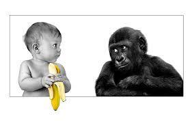 Bayi: Eh ,Om Gorilla Mau Pisang Gak? Si Gorilla: Pisang? Mau Mau!