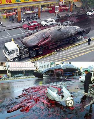 Ikan paus buat penelitian tiba-tiba meledak di sebuah jalan raya di Taiwan pada tahun 2004, darah dan ususnya pun berhamburan. Ikan paus sperma ini yang ditemukan mati di pinggir pantai dan kemudian dibawa menggunakan truk untuk diteliliti. WOW