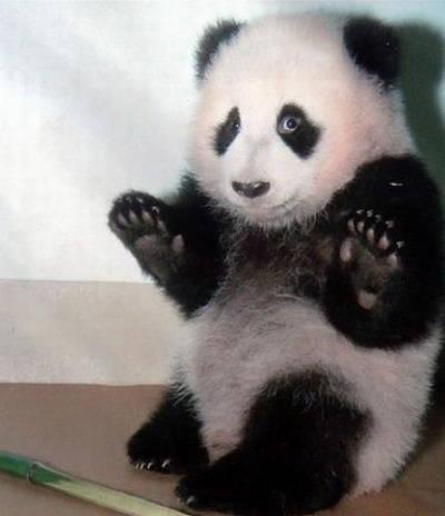 Inilah Eksperi Panda ketika Di todong Pistol...
