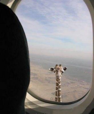 Jerapah sih emang hewan paling tinggi di dunia… Tapi, pernah tahu nggak jerapah tertinggi di dunia…?? Tinggi banget kan..??? :D klo merasa gambar ini keren klik WOW yaa.,,, :D