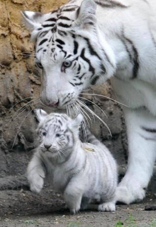 Foto anak harimau putih 45