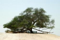 Pohon Aneh di Dunia Pohon Kehidupan di Bahrain. Pohon Mesquite memiliki salah satu sistem akar terdalam yang diketahui.