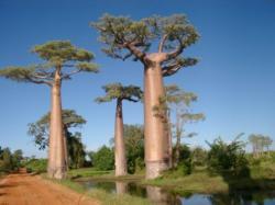 Pohon Aneh di dunia Adansonia atau baobab.