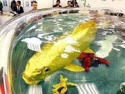 Ikan Emas Terbesar Di Dunia , Kalian Aja Bisa Masuk Apalagi Anak Bayi WOW nya dong