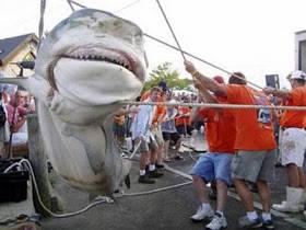 PENANGKAPAN HIU TERBESAR DI DUNIA Hiu,salah satu ikan yang sangat di takuti manusia,tetapi populasinya sangat berkurang karena ulah manusia.Naah..kali ini mari kita intip penangkapan ikan hiu terbesar yang pernah ada gan.