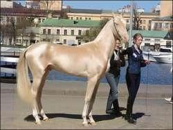 OMG Kuda Tercantik Di Dunia,,WoW..Orangnya Niat Banget Urusin Kudanya .. Warnanya yang emas mengkilat dan tubuhnya yang terlihat sangat mulus memang membuktikan bahwa Kuda ini memang pantas menyandang gelar kuda tercantik di Dunia.