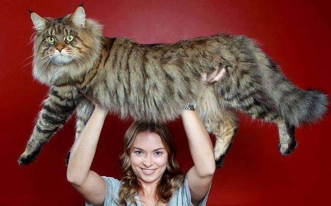 Dapatkah Foto Kucing Keren ini mendapatkan WOW!.. Ini Rupert, kucing terbesar di dunia, 2012..