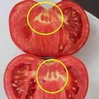 Apa Yang Kamu gambar Lihat Tomat ini ????