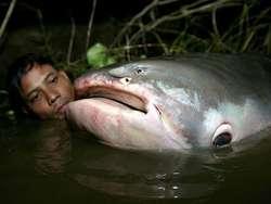 klik wow. ikan lele terbesar dapat memakan manusia.ikan ini dapat kamu kunjungi di sungai mekong. klik wow maka ikan ini muncul di aquariun anda