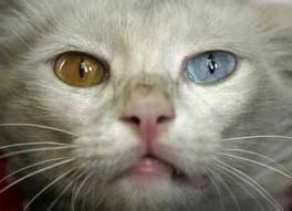 kucing yang memiliki bola mata berbeda warna ,,, O.o