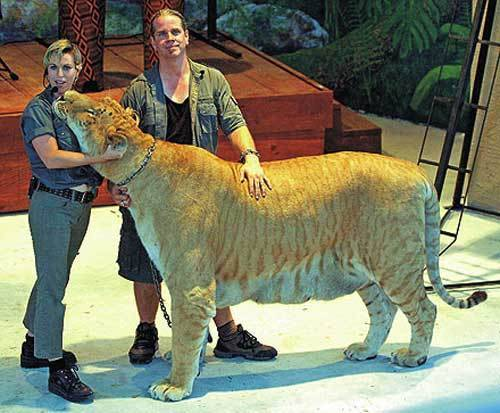 LiGer ... ! ini adl kawin silang antara singa dan harimau .... mnt WOW nya donk .... :)