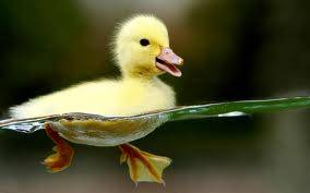 wah,,,kasian ya bebeknya dia tertangkap jebakan hewan