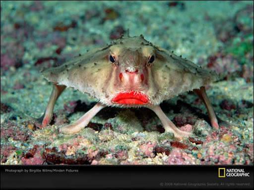 Apa ini iklan lipstik ? Tapi sesungguhnya ini adalah adalah satu jenis batfish, makhluk yang hidup di dasar laut (lihat sumber). Entah apa nama yang cocok untuk makhluk yang satu ini, ikan kelelawar pake lipstik mungkin cocok. Jenis ikan ini