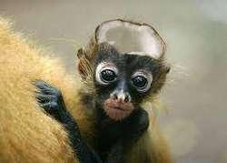 hayo? kepala monyet isinya kepala#eehh.. kelapa.. ada yang mau??