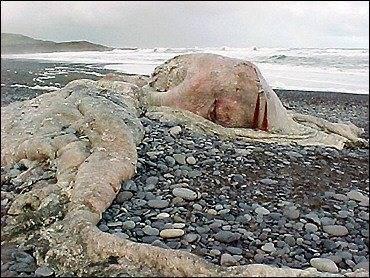 ditemukan hewan langka dan aneh di Pantai Selatan CHILI