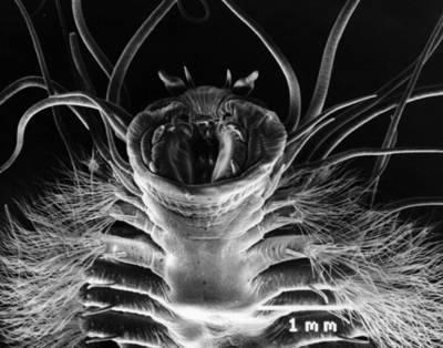 Cacing yang hidup di es metana saya tahu, melihat foto di atas, kalian mungkin akan teringat dengan salah satu makhluk dalam film alien. Namun, makhluk yang terlihat cukup mengerikan di atas sebenarnya adalah makhluk bumi. Ya, ia diam di antar